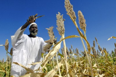 A local farmer harvests sorghum.