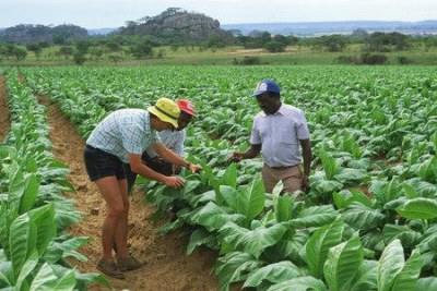 Tobacco growers in Zimbabwe.