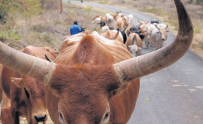 Tanzania Second in Africa's Cattle Baron Race