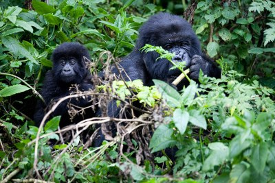 Mountain gorillas feed inside Virunga National Park.