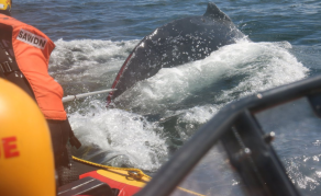 South African Volunteers Rescue Whale Caught in Fishing Rope