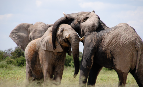 Tanzania Poaching Syndicate Exposed