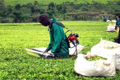 Analysts are calling for a comprehensive approach to address the tea sector challenges.