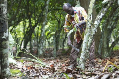 A farmer carefully prunes a cocoa tree.