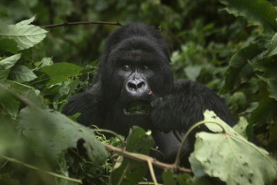 Mountain Gorillas in the Greater Virunga region comprising of DR Congo, Rwanda and Uganda.