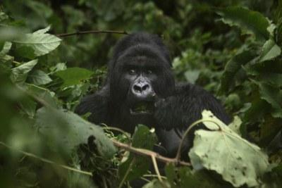Un gorille des montagnes en RDC