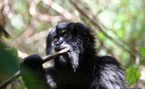 La SAP, pour sauver les primates en Afrique