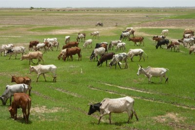 These cattle are eating the first pasture of the 2012 rainy season. But their owners are unable to head north to seek pasture there for fear Islamists will steal their flocks. Mopti region.