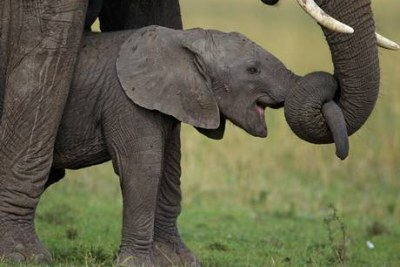 Baby elephants in Sangha Trinational parks of Cameroon, Central African Republic and Congo.