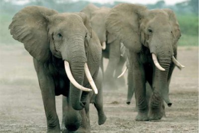 Poisoning of Elephants continues in Zimbabwe.