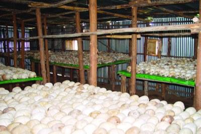 Restes de plus de 800 000 victimes rwandaises du génocide, qui doivent être transférés dans un nouveau site commémoratif pour être préservés.
