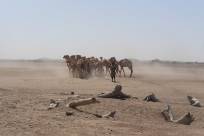 Camels wait for treatment from the Liyu police veterinarian teams outside Bulali town in Ethiopia's Somali region (file photo).