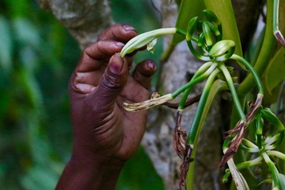In the vanilla-producing Sava region in the northern part of the island nation of Madagascar, about three out of four vanilla farmers live on less than a dollar a day.