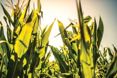 GMO maize (file photo).