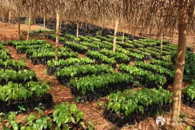 Cocoa farm in Ghana.