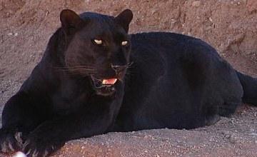 Première apparition d'un léopard noir d'Afrique au Kenya, depuis un siècle
