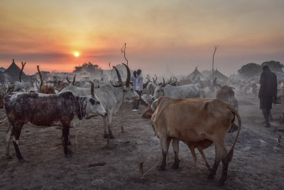 Cattle in Twic East, South Sudan. Cattle raids are one source to the conflicts in South Sudan. At the time the photo was taken - cattle had just been stolen from some farmers in the area.