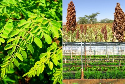 Moringa and sorghum are making a comeback on menus.