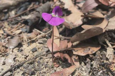 Vigna pygmaea, in Mwekera, Zambia. This species flowers after fires fueled by grasses.