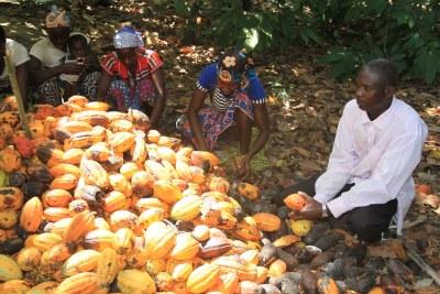 Culture de cacao à Gagnoa situé à l'Ouest de la Côte d'Ivoire