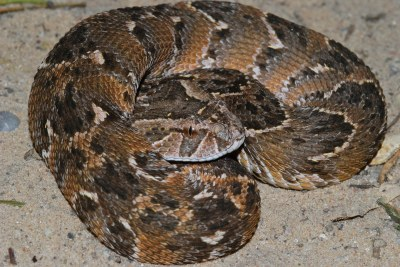 A young puff adder (Bitis arietans) in the Kgalagadi Transfrontier Park, South Africa (file photo).