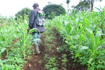 A farmer in Cameroon tends a field planted with corn and beans.